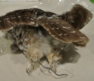 owl after